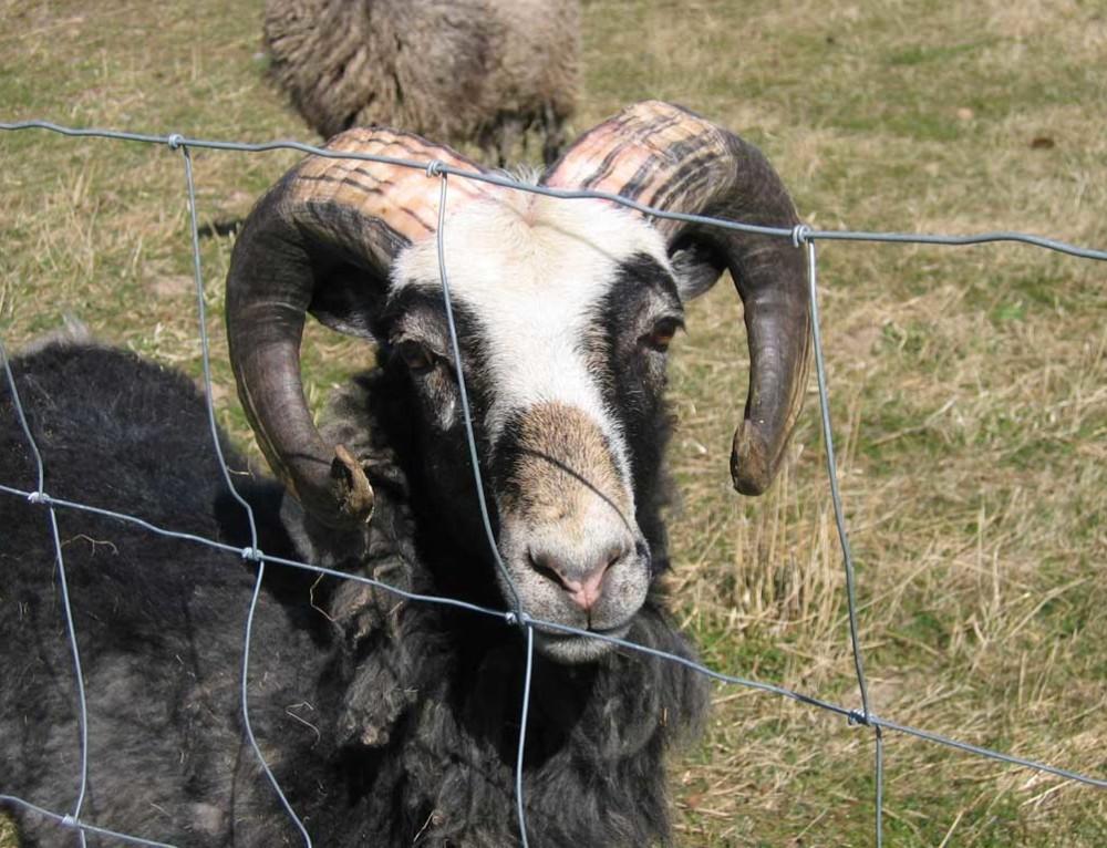 Egen fåreavl