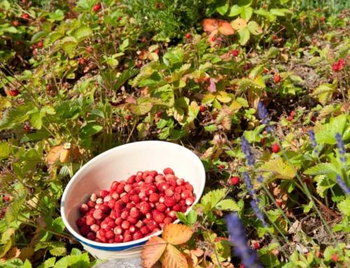 Skovjordbær fra haven